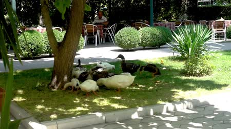 rebaño : Grupo de patos y gansos en Park Gathering en Shades on Grass Archivo de Video