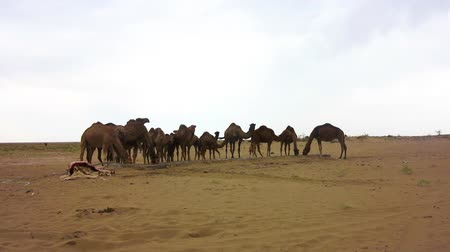 persie : Kashan Maranjab Salt Desert with Camels Just Drinking Water