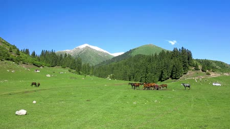 kul : Karakol Glen Defile Snow Capped Mountains Horses and Forest with Blue Sky Background Stock Footage
