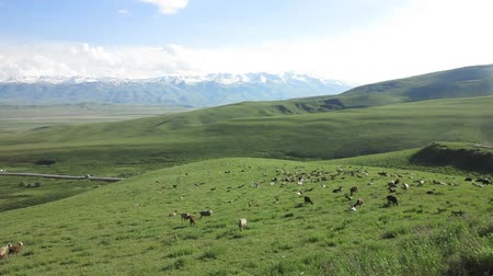 pasaport : Kyrgyzstan Picturesque Suusamyr Valley Grass View with Sheep and Goats