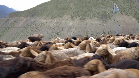 mamal : Ayni Anzob Pass from Dushanbe to Khujand Sheep Herd is Blocking the Highway and Passing through on a Cloudy Rainy Day Stock Footage