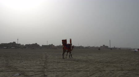 Karachi Clifton Beach Tractor Camel is going through the Dirty Shore on a Cloudy Day