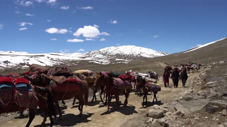 gilgit baltistan : Deosai National Park Nomads Moving with their Belongs Horses and Donkeys to Panoramic Snow Capped Mountains at Background