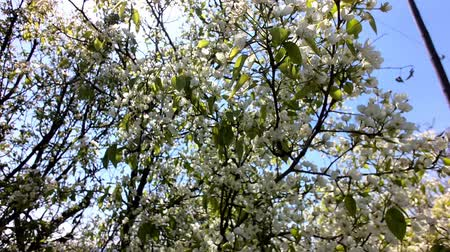 вишня : Plum tree blooms in spring. White flowers against the sky