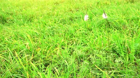grass flowers : Field with flowers on a wind. Beautiful blue wild flowers. Stock Footage