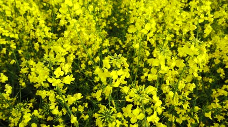 canola : Yellow canola field at sunny day, Slow motion.