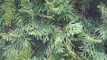 rebirth : Arborvitae branch with fresh green needles, waving on spring wind. Stock Footage