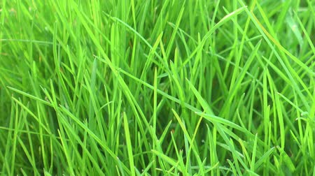 kayran : Bright green grass lawn on a wind, garden Stok Video