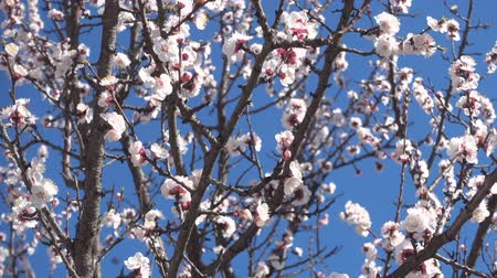 rügy : Spring garden, blooming apricot tree and bees, FHD qualitative video.