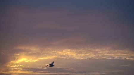 judgment day : One bird flying against beautiful sunset, slowmotion, fhd 240 fps Stock Footage