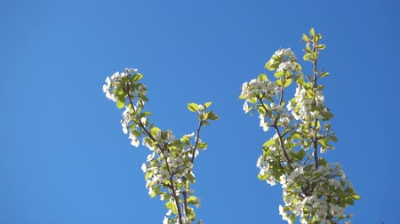 damascos : Beautiful apple tree branches with flowers and clear blue sky, 4k qualitative video.
