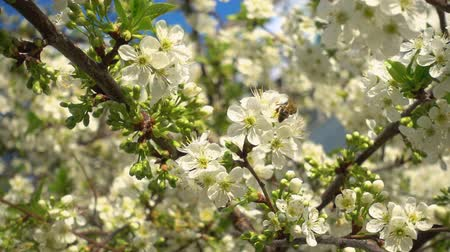 őszibarack : Beautiful blooming cherry and bee collects nectar. Slow motion video, fhd. Shes got bags of pollen on her feet.