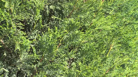 rebirth : Floral background, arborvitae branch with fresh green needle, uhd video. Stock Footage