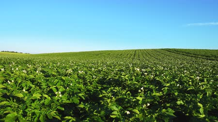 brambory : Blooming potato field, plants sway in a wind, qualitative 4k video.
