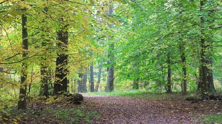 linden : Looped video, approach of autumn in beautiful forest. Full HD.
