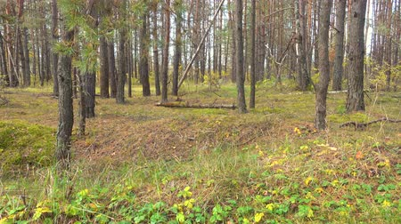 Russian forest, taiga, Siberia. Leaves barely sway in the wind. 4k pro res video.