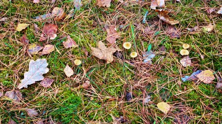 caído : Spruce needles and cone fall to ground. Fallen leaves on autumn ground.