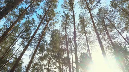 High pines in forest at beautiful day, sun through trees. Pine forest 4k.
