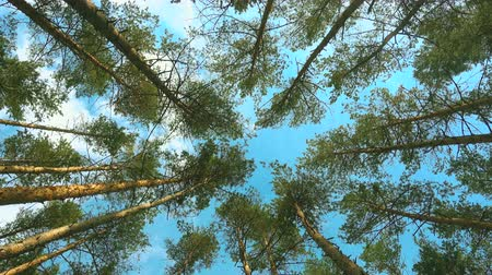 High pines and sky at beautiful day. Pine forest 4k. Wideo