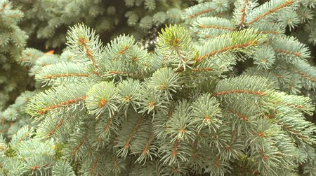 nedves : Fir tree branch and rain drops at rainy day. Ultra HD pro res video.