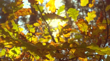 Sun shining through fall leaves, oak, 4k pro res video. Wideo