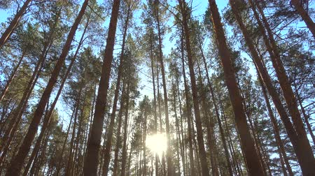 High pines trees in forest on wind at beautiful day, sun through trees. Pine forest 4k. Wideo