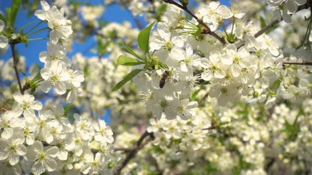 Bee collects nectar on white blooming cherry flowers, Slow motion video, 240 fps. Wideo