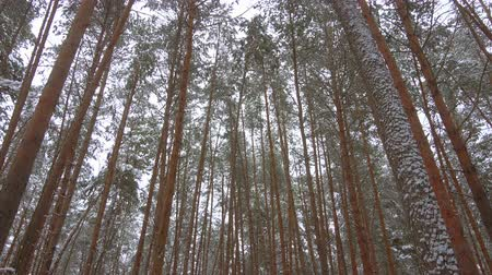 Beautiful winter pine forest, snow, panoramic video