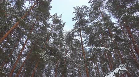 Seamless slow motion footage of falling snow in pine winter forest, pro res. Wideo