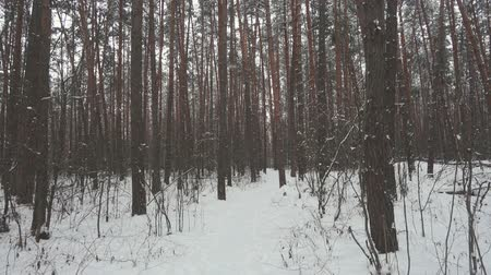 Скандинавия : Slow motion among trees in winter forest and falling snow