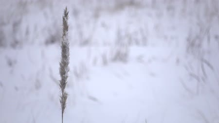 Winter in the nature, one grass and snow on the wind.