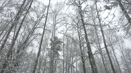 High trees in beautiful winter forest.