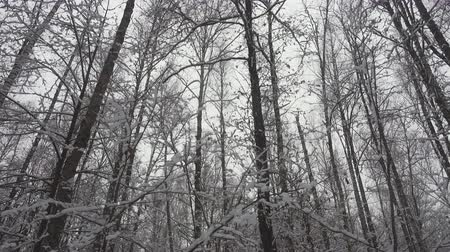 birch tree : Slow motion falling white snow in beautiful winter forest