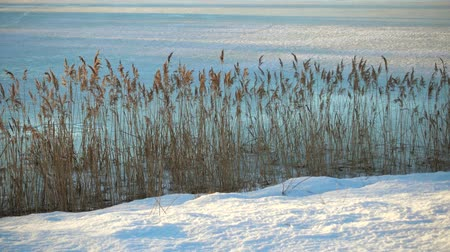 sways : Winter in the nature, grass on a coast of forest lake.