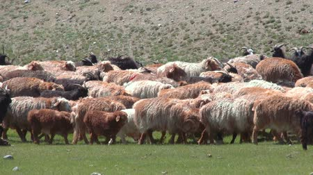 otlama : Sheep herd grazing on the green field