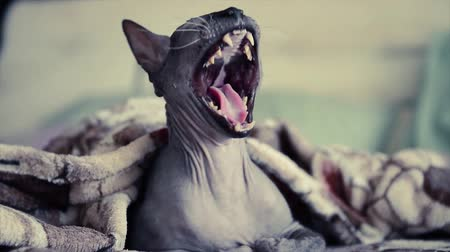domestic sphinx cat yawns under blanket in bed Стоковые видеозаписи