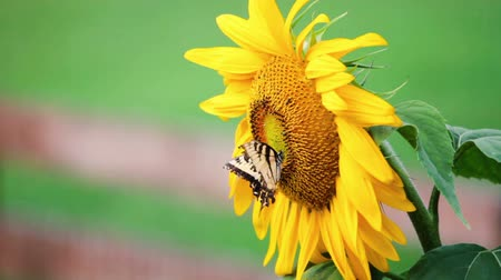 tiger butterfly : Sunflower and butterfly Stock Footage
