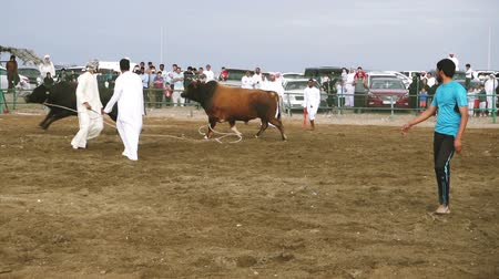 memeli : Bull fighting in Fujairah