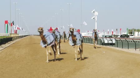 wyscigi : Camel racing in Dubai Wideo