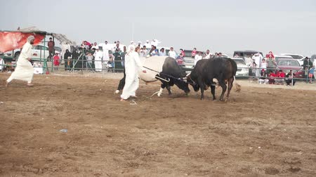 арена : Fujairah, UAE, April 1, 2016: bulls are fighting in a traditional event in Fujairah, UAE