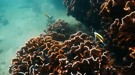 bálvány : Underwater footage of fish by coral reef in Andaman Sea, Thailand