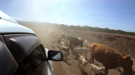 Domestic herd on rural road in Kenya
