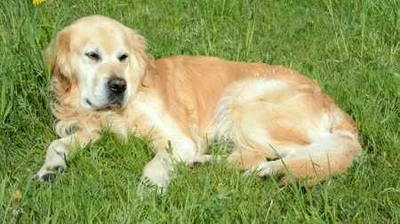 napfény : Golden retriever dog lying restlessly on the green grass under summer sunlight and looking around Stock mozgókép