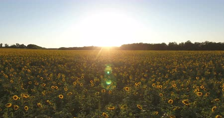 подсолнухи : Aerial view of sunflower field at sunset. Copter view