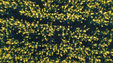 canola : Aerial view of beautiful rapeseed field