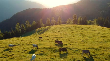 savci : Summer view of the meadow, at sunset. Summer countryside scene with grazing cows. Agricultural scene Dostupné videozáznamy