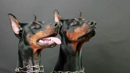 pincher : listening attentively to masters commands, closeup side view of two black and brown dobermans wearing steel dog collars sitting still on isolated dark background, domestic dogs posing in photo session