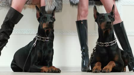 bota : closeup of girls legs wearing black leather and suede high heels boots near two doberman pinschers in steel dog collars lying on white wooden floor, black and white fur coats, posing for photo session