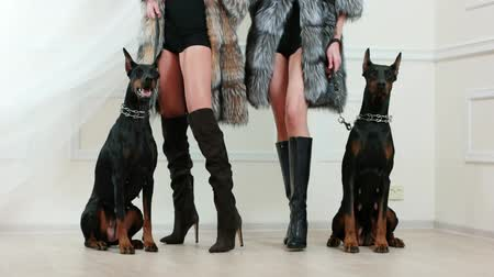 fur boots : girls wearing middle-long fur coats and leather high heels boots holding dobermans on steel chains, photosession backstage, domestic dog sitting still near models, leather leash, fashion demonstration Stock Footage