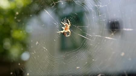 intricacy : spider on web eating its prey in sunshine, arachnid catches insects in cobweb close-up, araneid waits for prey in center web into sun, garden spider hunting its prey in open air Stock Footage